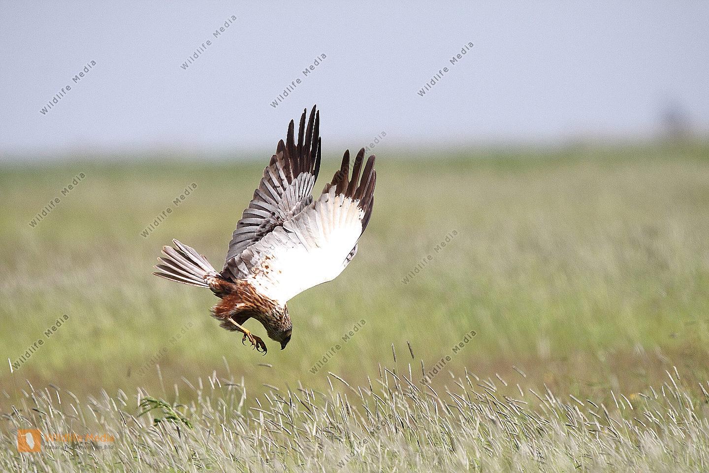 Rohrweihe auf Jagd