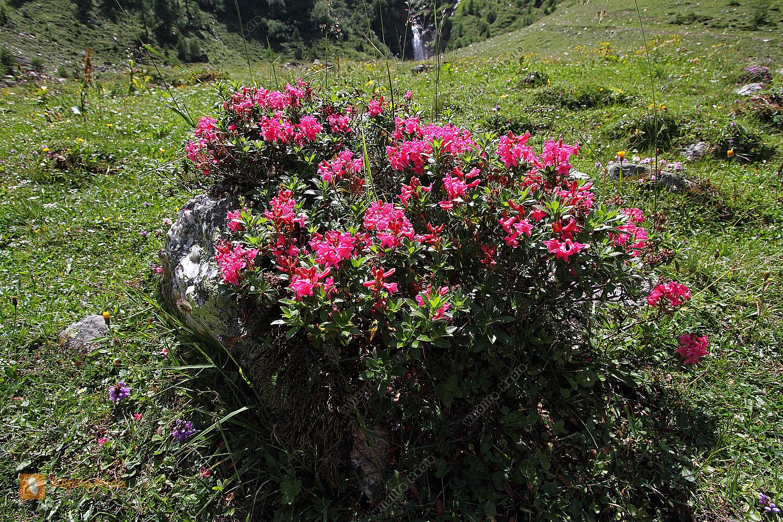 Behaarte Alpenrose