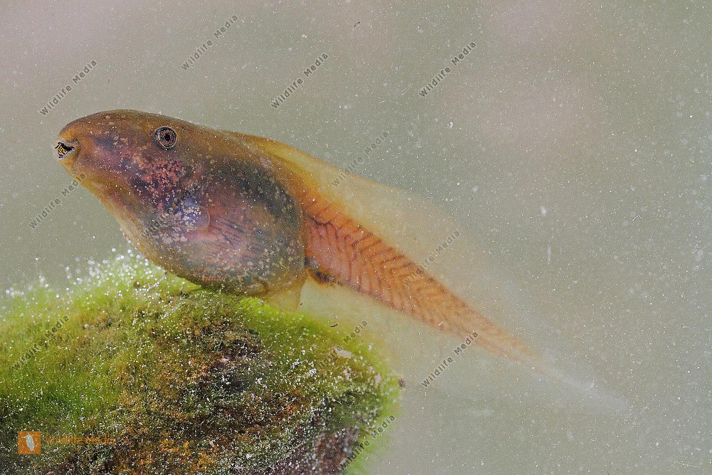 Knoblauchkröten Kaulquappe