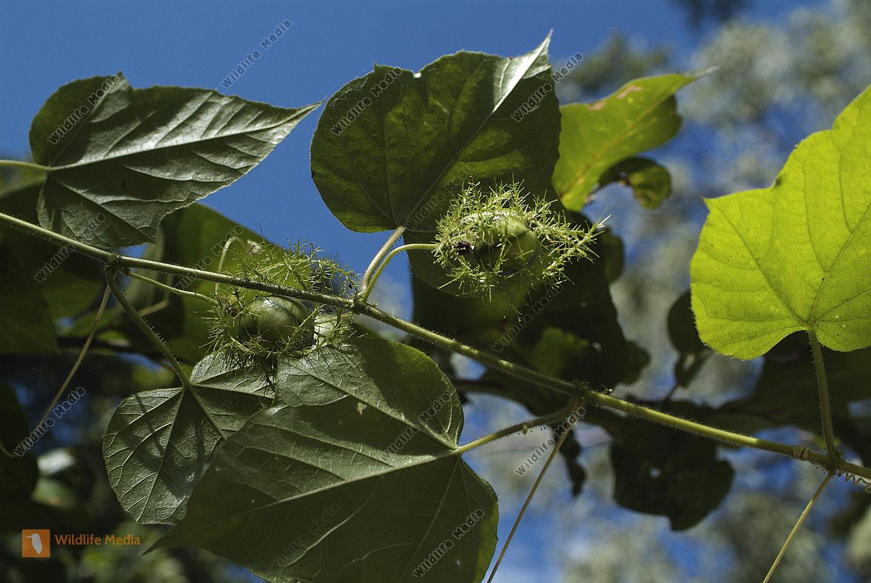 Australia, Botany