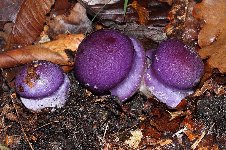Violetter Schleierling