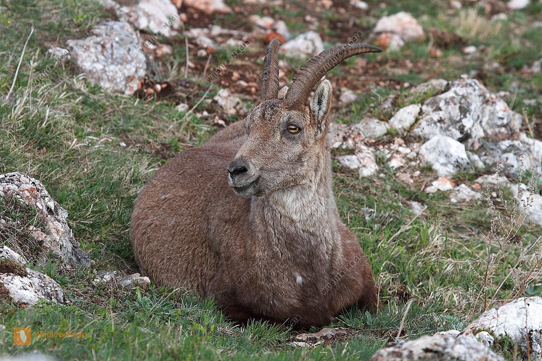 Alpensteinbock-Weibchen