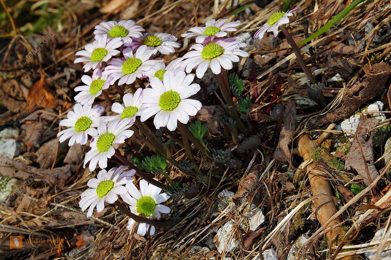 Anemonen-Schmuckblümchen
