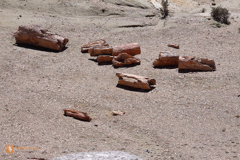 60 Millionen Jahre alter Araukarienstamm