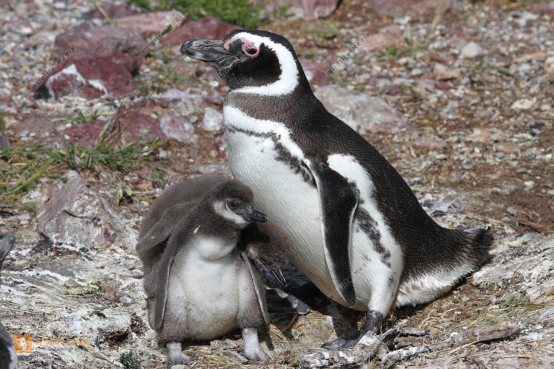 Magellan Pinguin mit Jungen