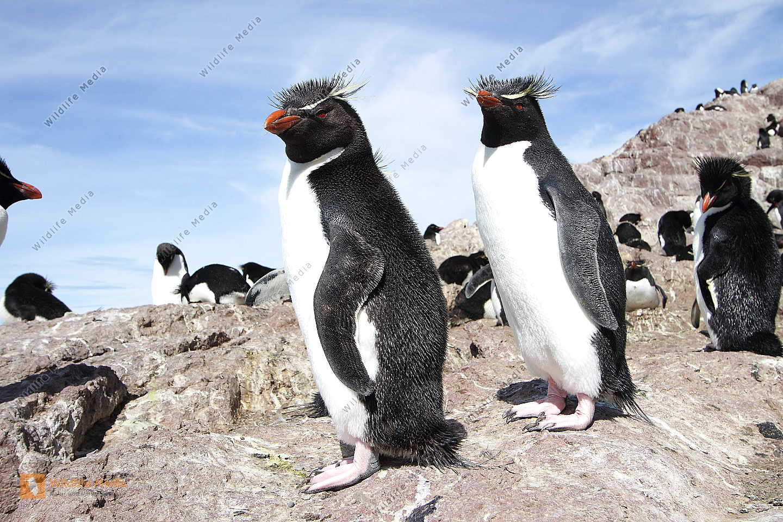 Felsen Pinguin