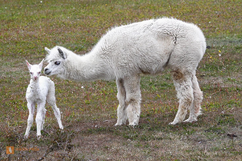 Alpaka mit Neugeborenem