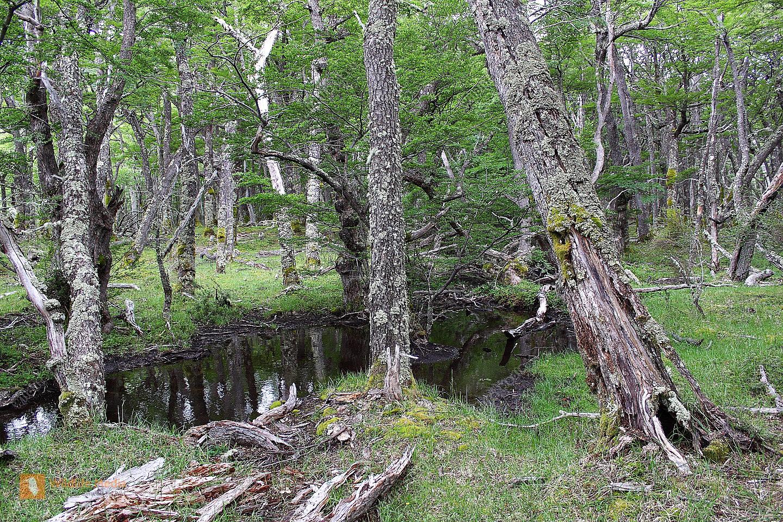 Patagonischer Urwald