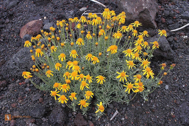 Chilenische Gebirgspflanze