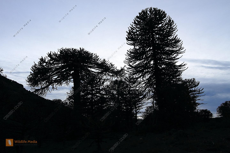 Araukarie