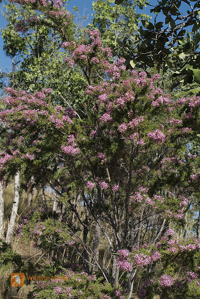 Australien - Botanik