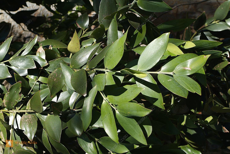 Botanik - Kauri Pine