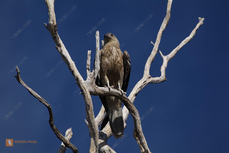 Australien - Vögel
