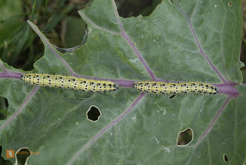 Zoologie - Schmetterlinge