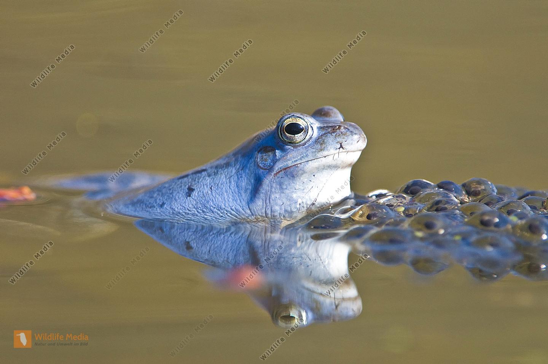 Amphibie