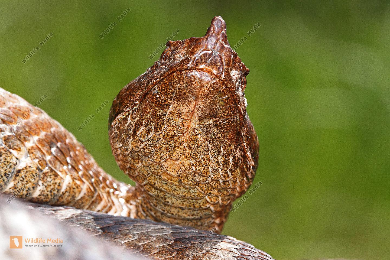 Hornotter Weibchen