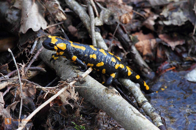 Feuersalamander Weibchen