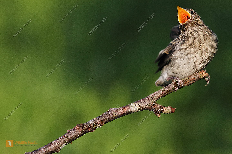 Halsbandschnäpper Jungvogel
