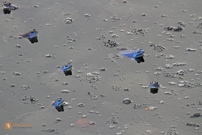 Moorfrosch Männchen