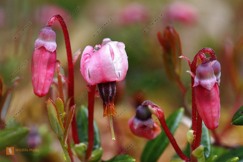 Moosbeere Blüte