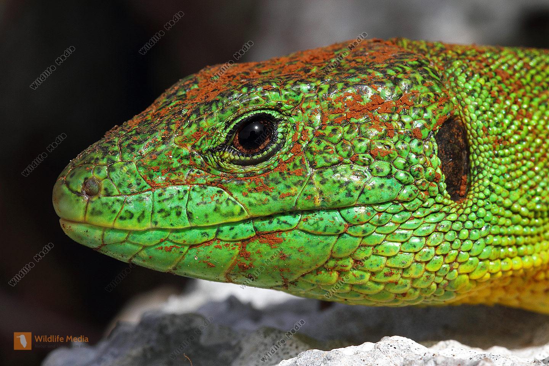 Riesen-Smaragdeidechse