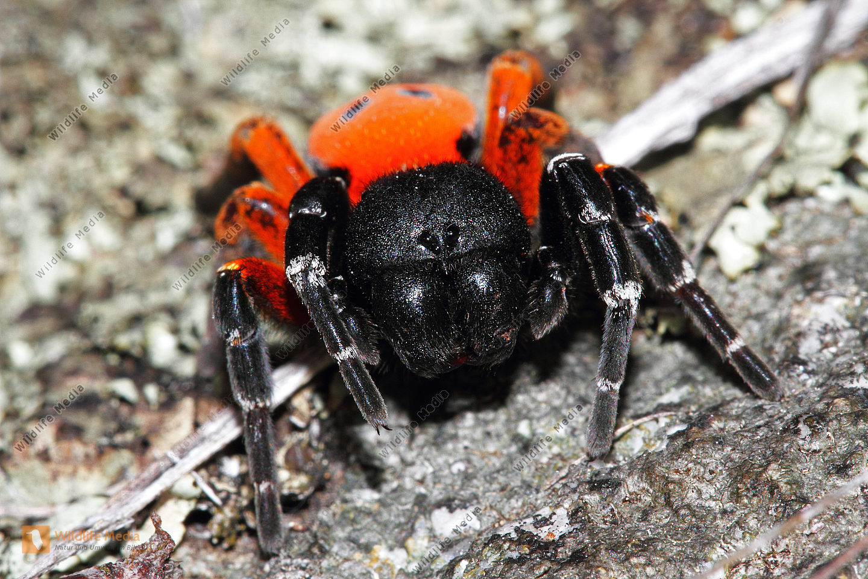 Rote Röhrenspinne Männchen