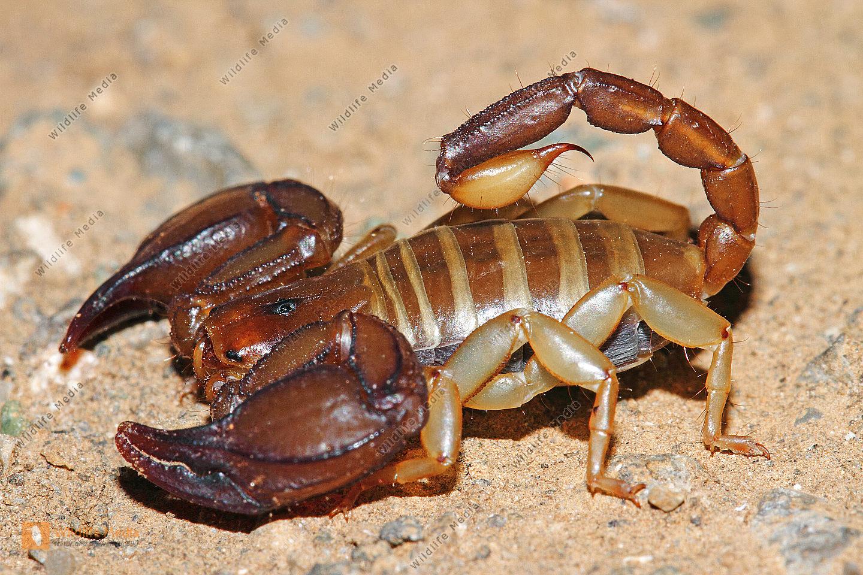 Europäischer Skorpion