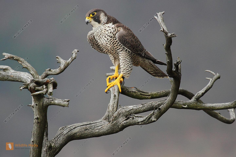 Wanderfalke Weibchen