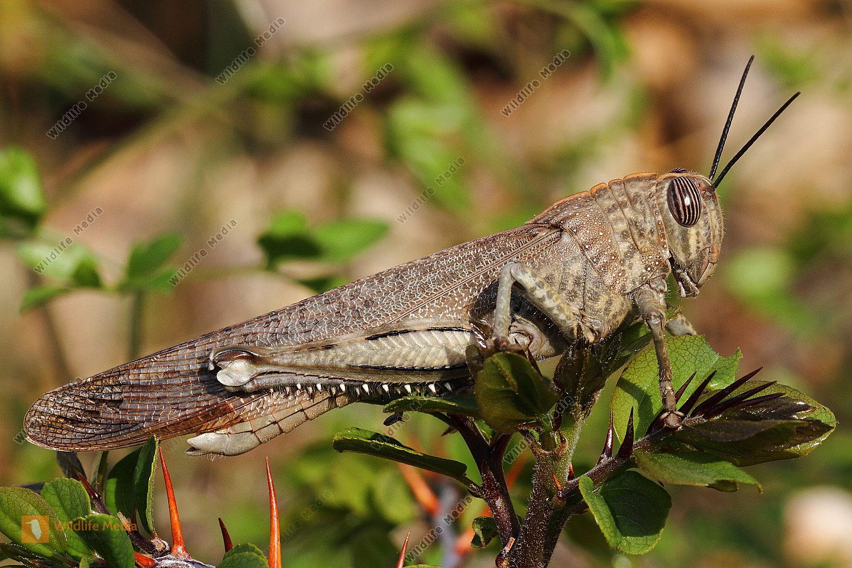 Ägyptische Wanderheuschrecke