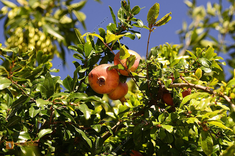 Botanik - Granatapfel