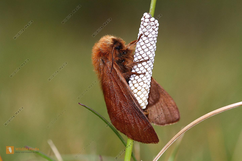 Alpen-Ringelspinner Weibchen