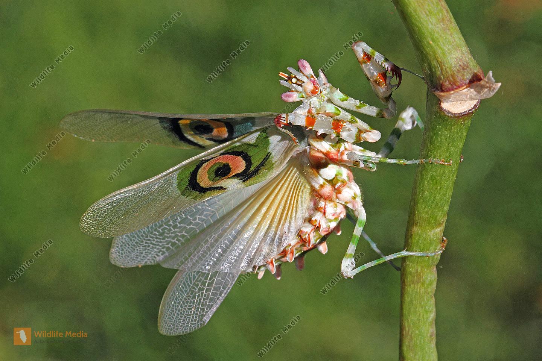orchideen mantis bilder wildlife media bildagentur. Black Bedroom Furniture Sets. Home Design Ideas
