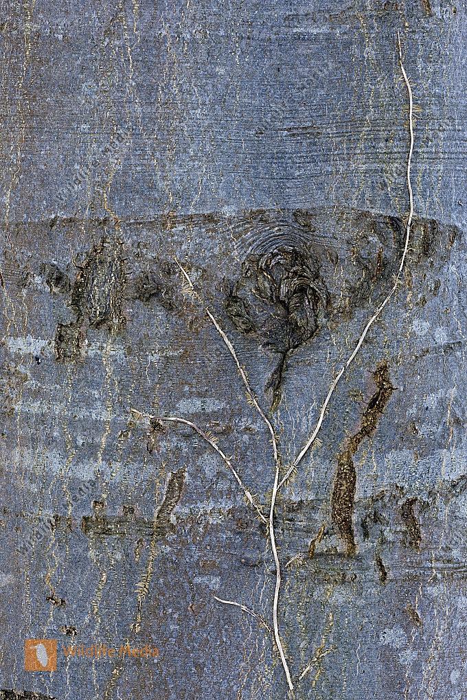 Baumrinde mit Efeu Resten