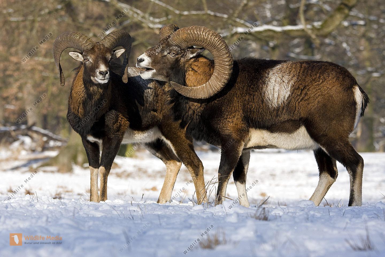 Mufflon im Schnee