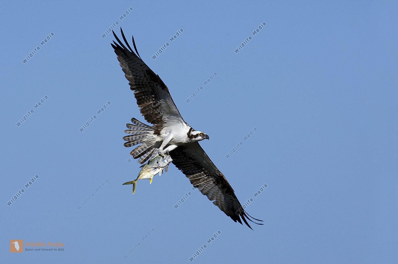 Fischadler im Flug mit gefangenem Fisch