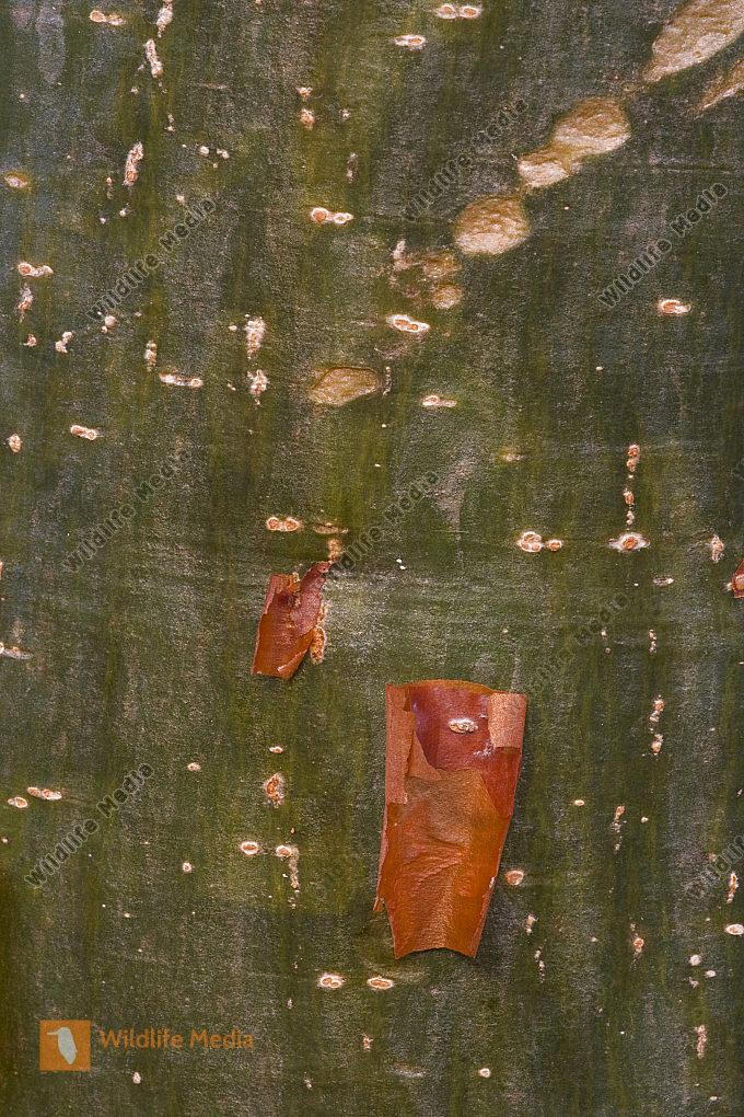 Rinde vom gumbo-limbo baum