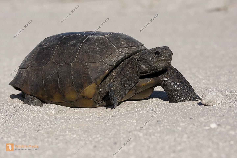 Gopherschildkröte überquert Strasse