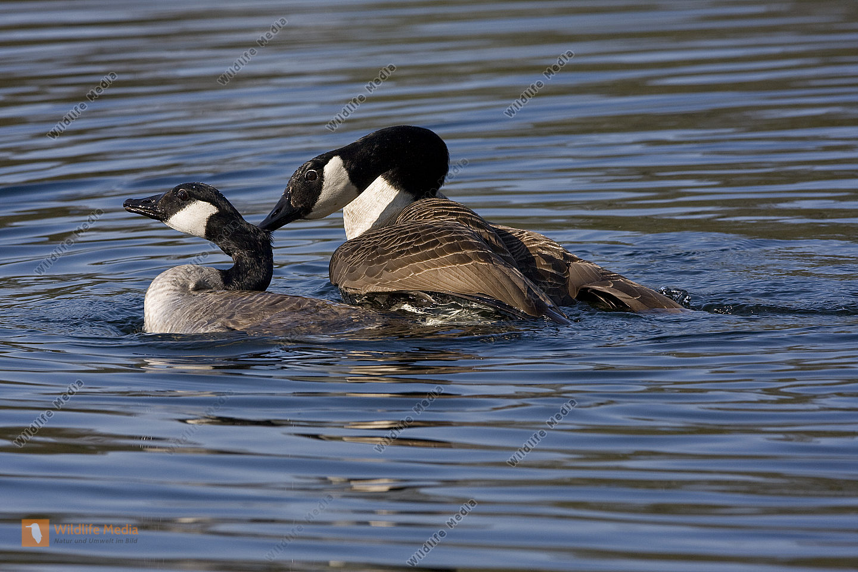 Kanadagans / Canada Goose / Branta canadensis