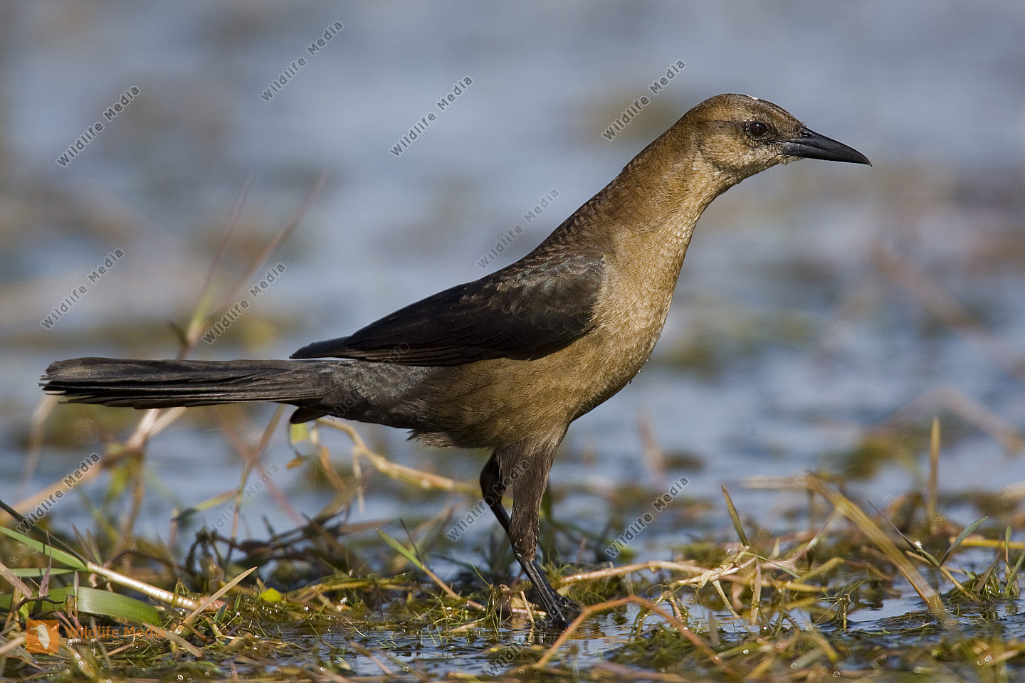 Bootschwanzgrackel / Boat-tailed Grackle / Quiscalus major