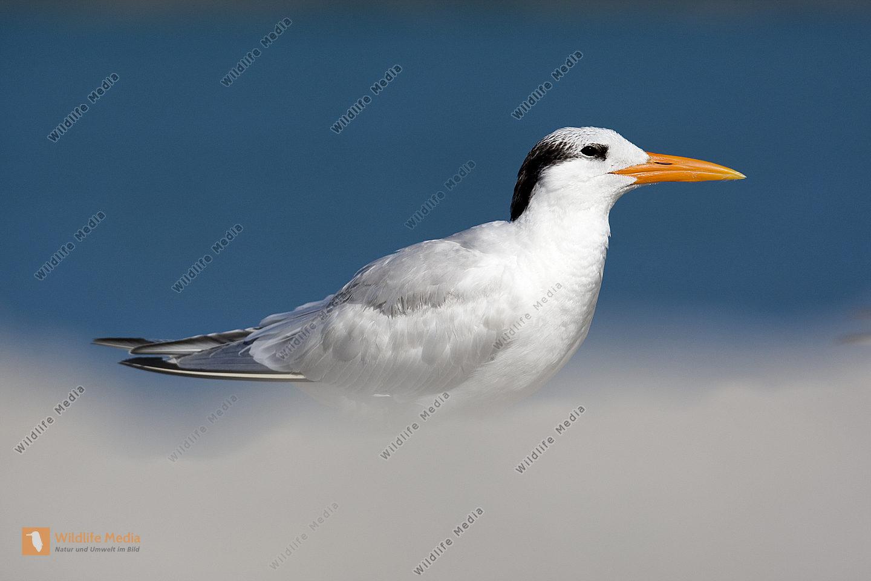 Königsseeschwalbe Thalasseus maximus Royal Tern
