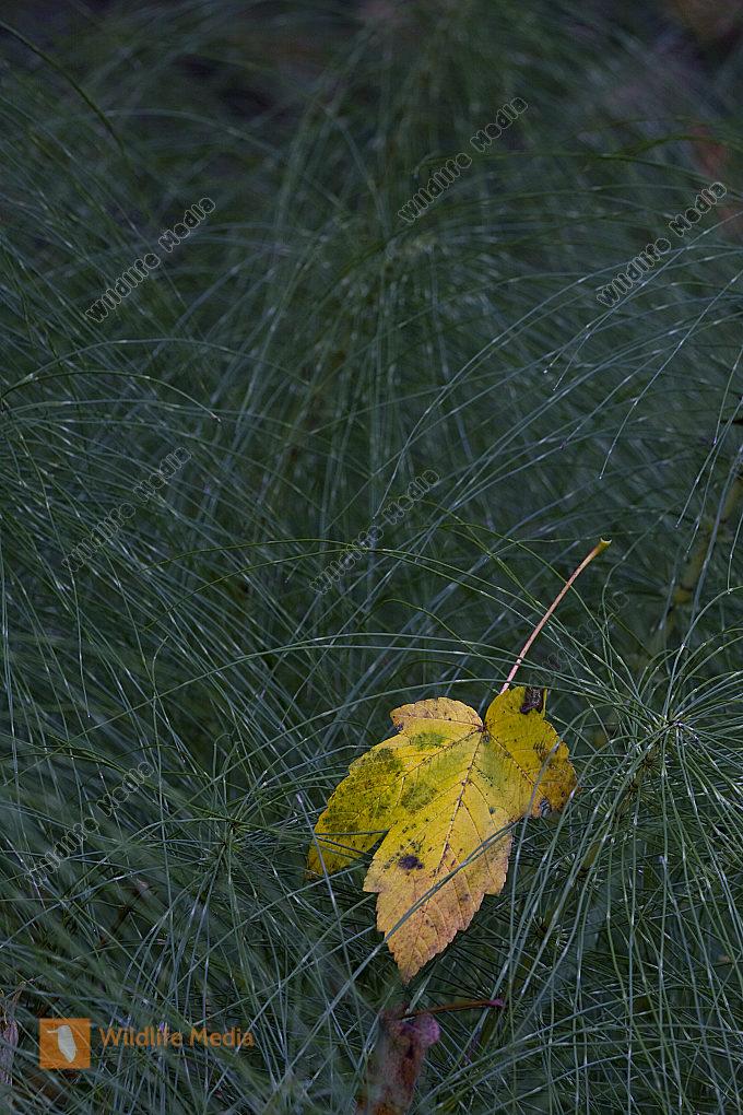 Herbstblatt auf Schachtelhalm