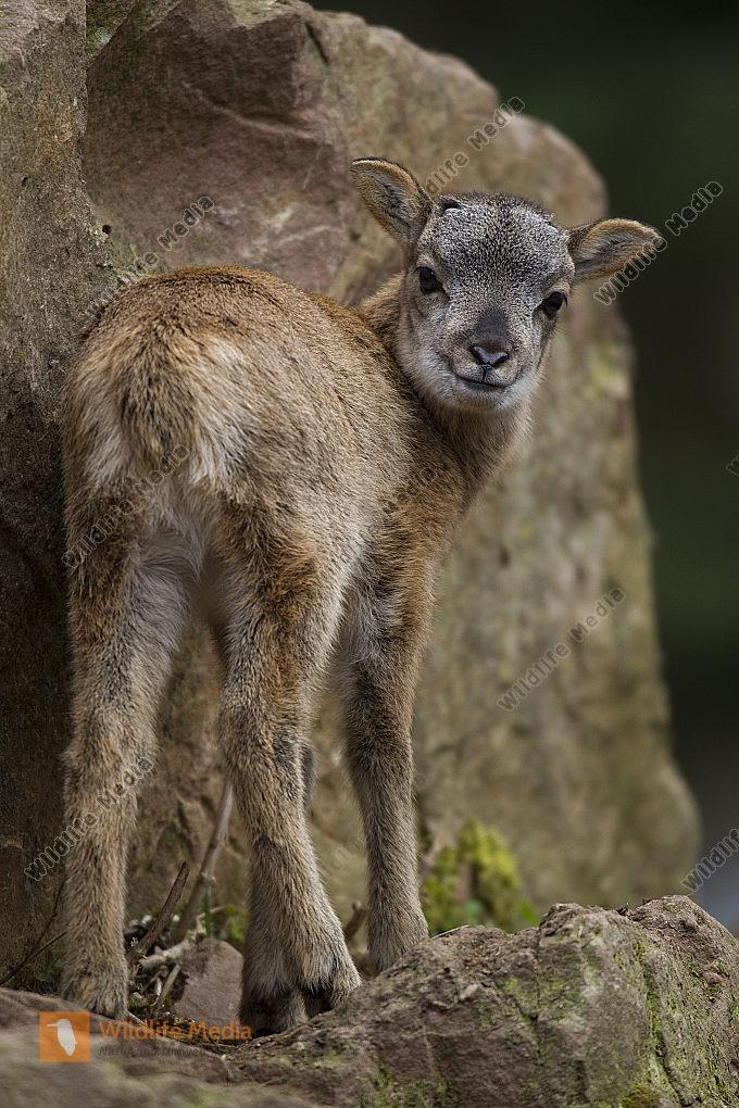 Mufflon / Mouflon / Ovis ammon