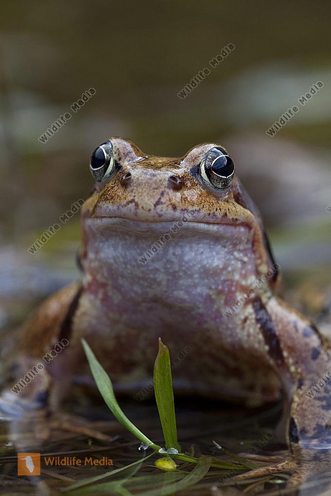 Froschlaich Grasfrosch