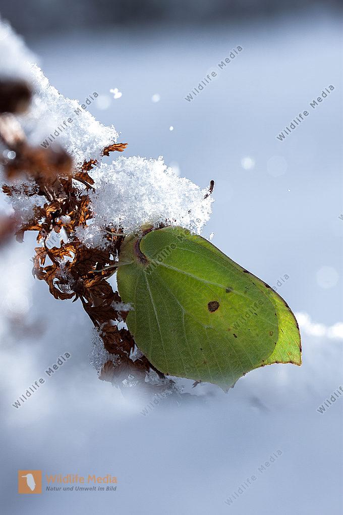Zitronenfalter im Winter