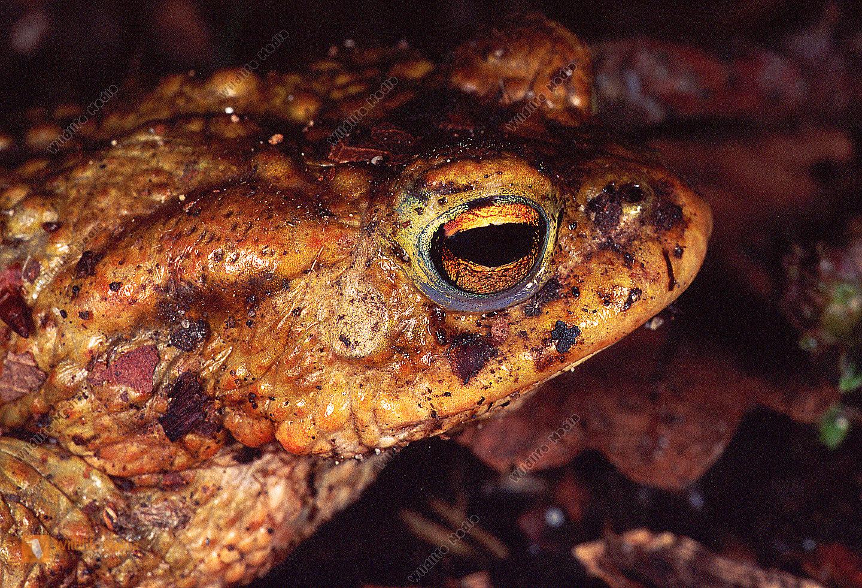 Erdkröte bufo