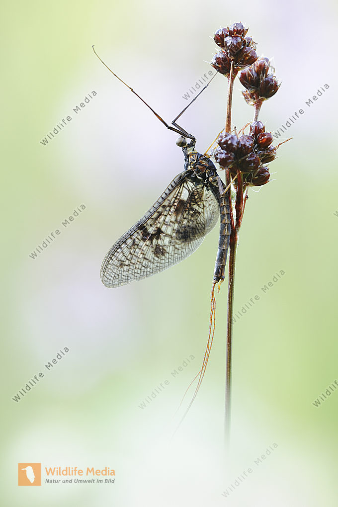Eintagsfliege Ephemeroptera