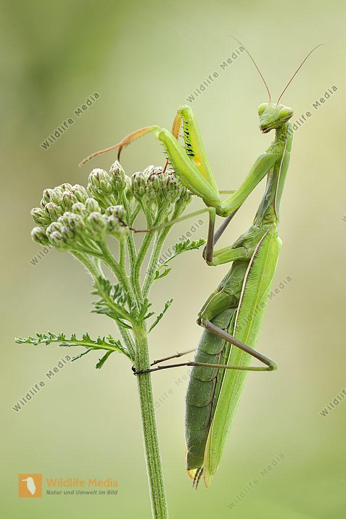 Europäische Gottesanbeterin Mantis religiosa