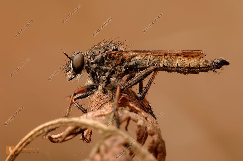 Gemeine-Raubfliege-Tolmerus-atricapillus