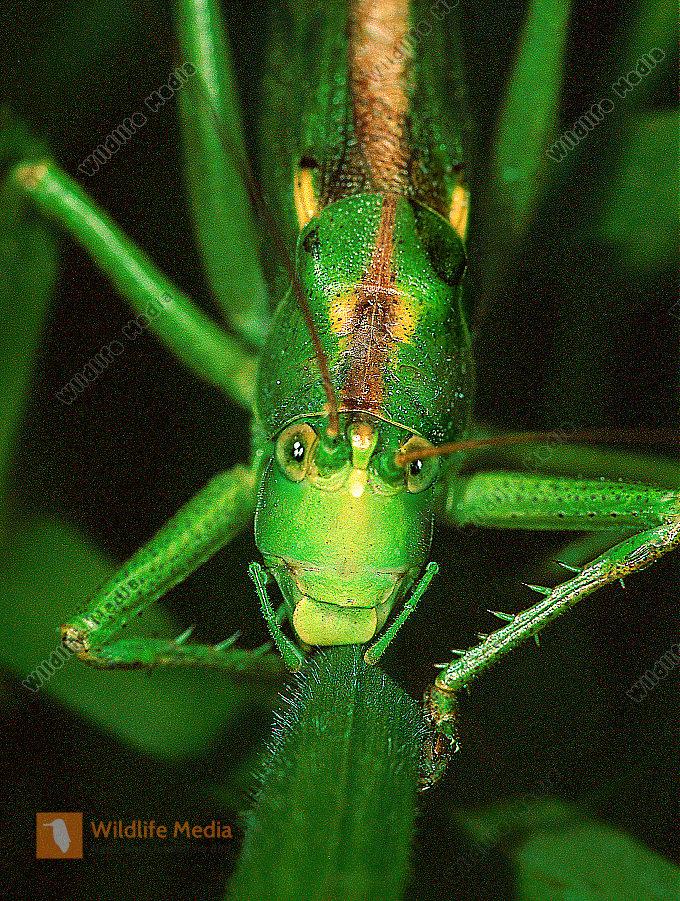 Grünes-Heupferd-Tettigonia-viridissima