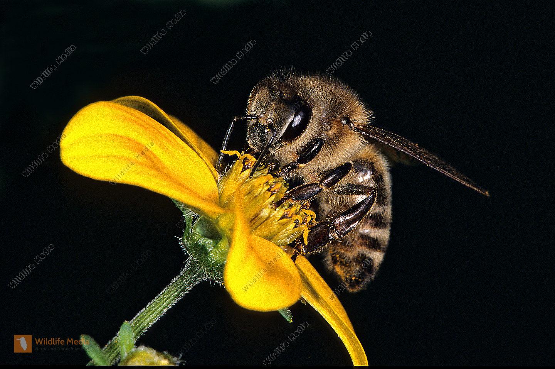 Honigbiene-Apis-mellifica